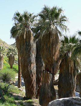 """Washingtonia filifera"""
