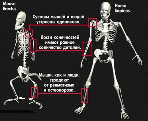 Mouse Erectus - Homo Sapiens
